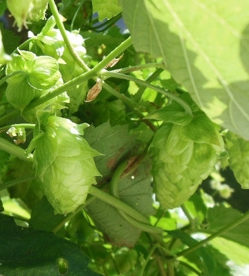 Hops Growing - Wet Hopped Beer?